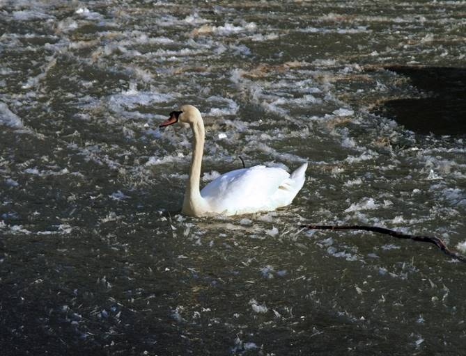 A swan in an icy river Wear